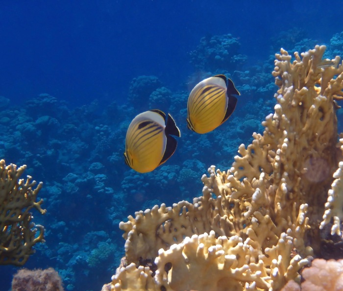 Red Sea Exquisite Butterflyfish