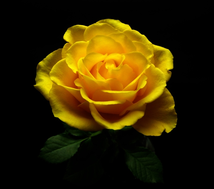 Yellow Rose 4.jpg